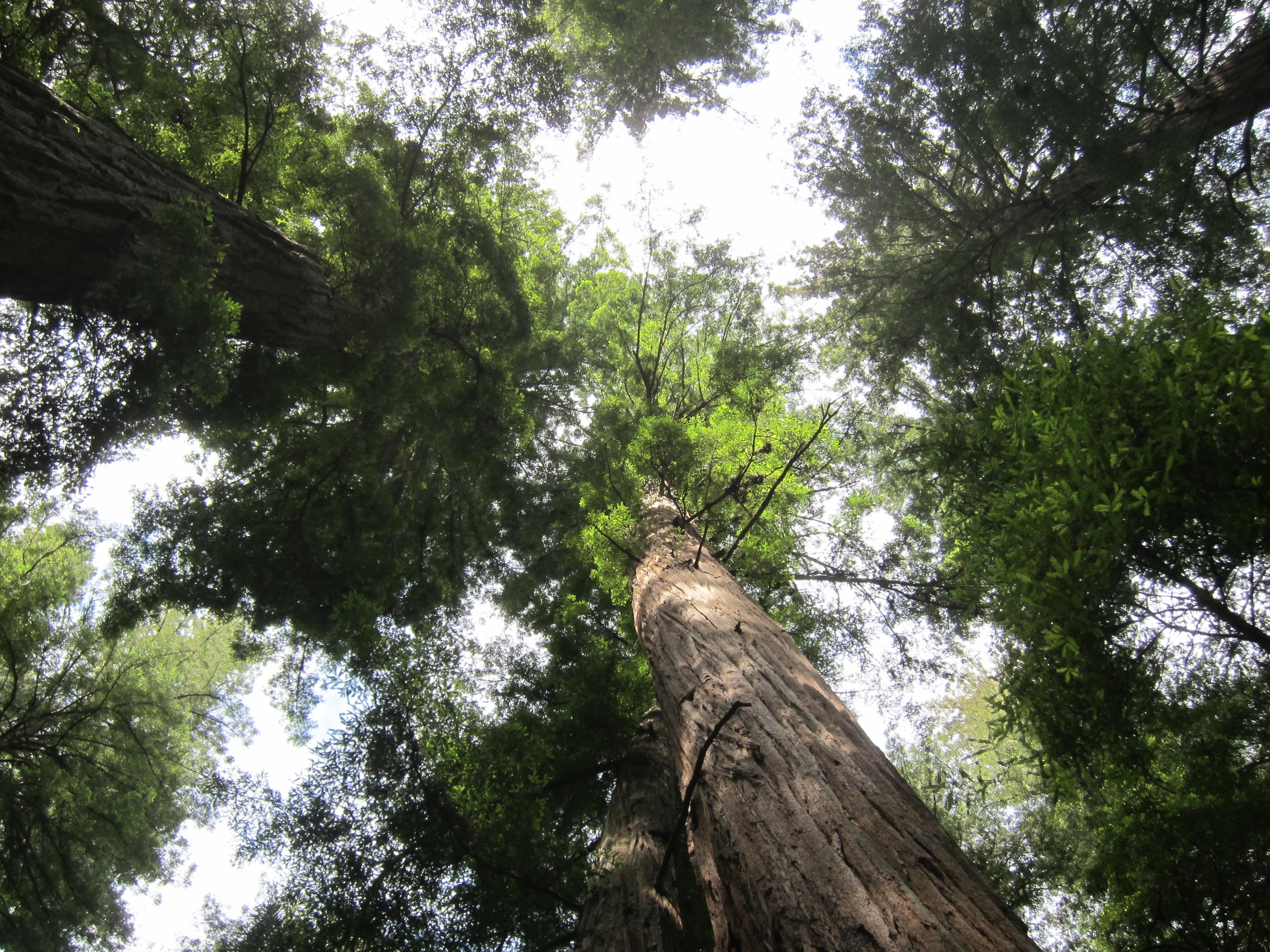 california s state tree california releaf