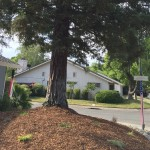 short Mature evergreen with organic mulch
